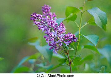 púrpura, primavera, ramas, florecer, flores, lila