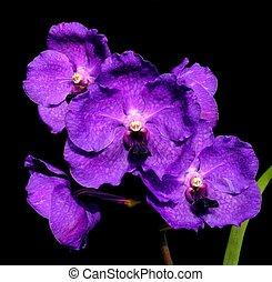 púrpura, sue, -vanda, vanda, fowler
