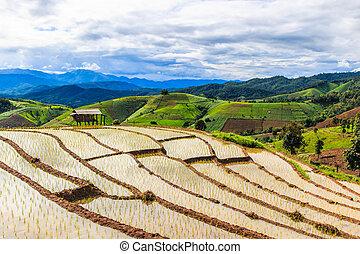 Paddy - campos de arroz en Pa pong peang chiang mai asia Tailandia