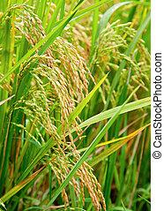 Paddy de arroz