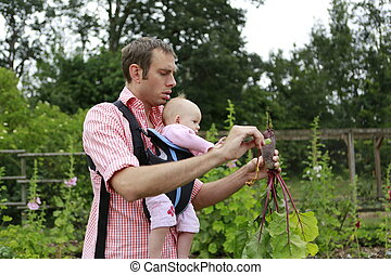 Padre y bebé con el bebé Sling Carrier tira de las remolachas