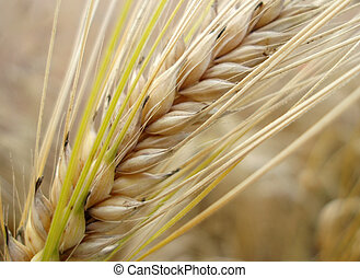 Pajita de maíz