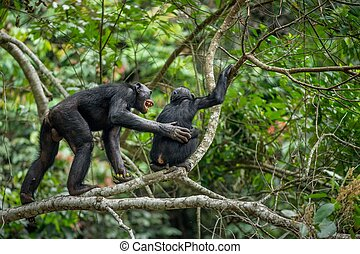 (pan, paniscus), congo., áfrica, árbol, jungle., república, rama, democrático, bonobos