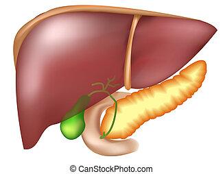 Pancreas e hígado