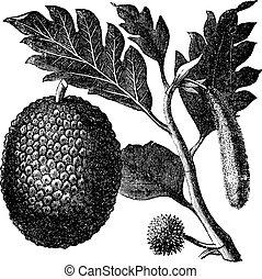 Panfruta, artocarpe o artocarpus altilis viejo grabado.