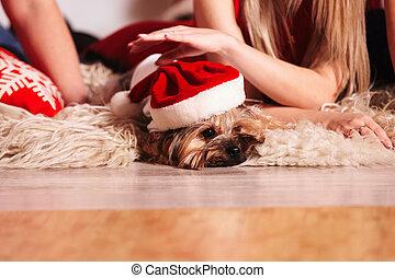 pareja, hermoso, perro, poco, llevando, santa., dog-yorkie, bed., navidad