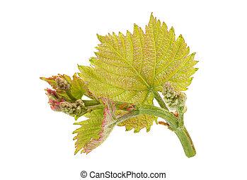 Partes de uva con hoja
