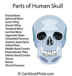 Partes del cráneo humano, ilustración de vectores médicos