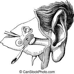 Partes del oído humano, grabado antiguo