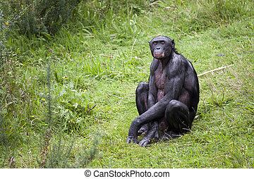 pasto o césped, bonobo, sentado