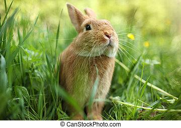pasto o césped, verde, conejo