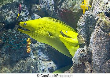 Peces de moray amarillo en arrecife de coral