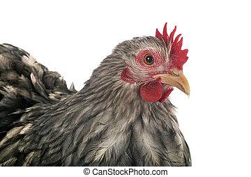 pekin, pollo