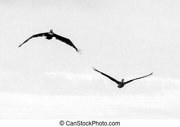 Pelícanos en vuelo BW