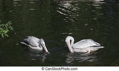 Pelicanos blancos flotando en el lago Park