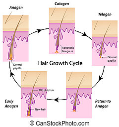 pelo, ciclo, crecimiento, eps10