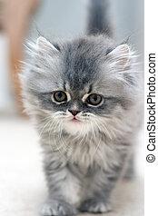 peludo, gatito