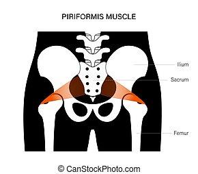 pelvis, concepto, muscular