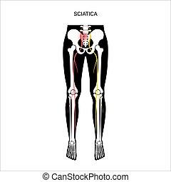 pelvis, muscular, ciática