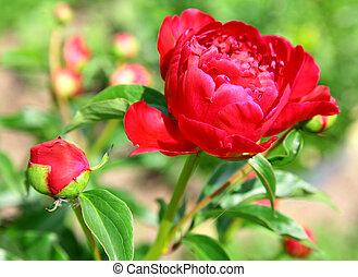 Peonía roja en el jardín de verano