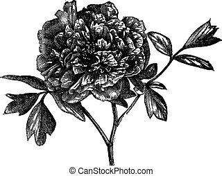 peonía, vendimia, árbol, moutan), (paeonia, engraving.