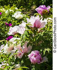 Peonías. Flores peonías. Un arbusto de flores de peonía rosa