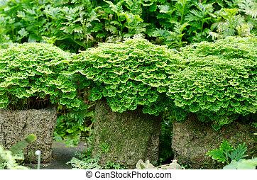 Pequeñas hojas de helecho tropical en el jardín
