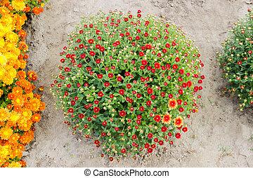 pequeño, cima, arbusto, flores rojas, crisantemos, vista