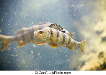 Perch, Perca fluviatilis, un solo pez en el agua