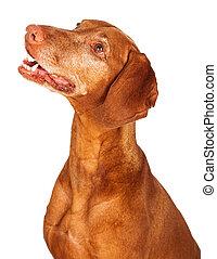 Perfil de perro Vizsla mirando hacia arriba
