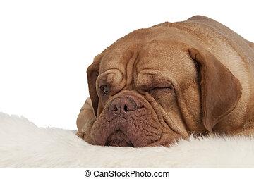 Perrito de Winking tirado en la alfombra
