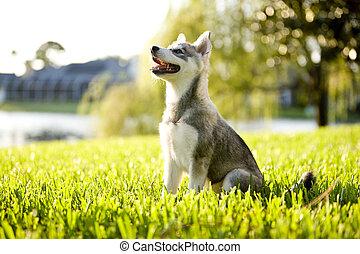 perrito, klee, natural de alaska, kai, incorporar, mirar, pasto o césped