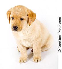 Perrito Labrador sentado en un fondo blanco