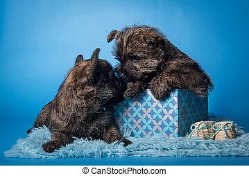 perritos, besar, perros, otro, cada, dos, terrier, cairn