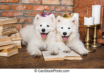 perritos, perros, navidad, blanco, samoyedo, libro