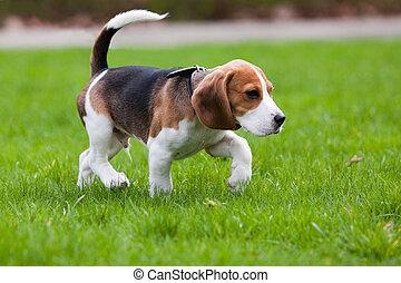 Perro Beagle sobre hierba verde