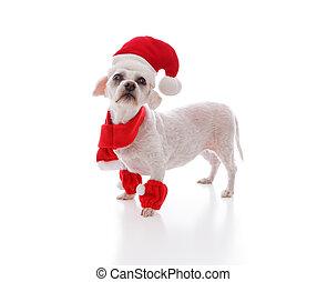 Perro blanco buscando a Santa
