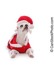 Perro blanco usando un traje de Santa Claus y mirando hacia arriba