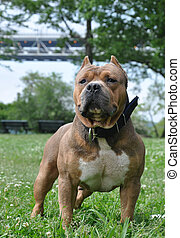 Perro canino de pura sangre