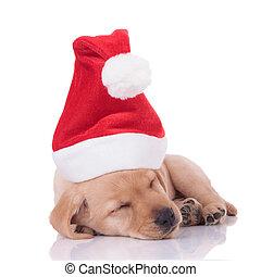 perro cobrador, labrador, adorable, plano de fondo, blanco, sueño