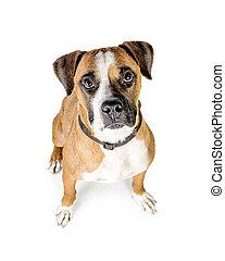 Perro cruzado boxeador mirando hacia arriba