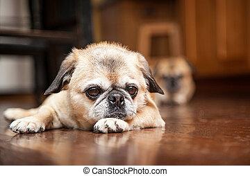 Perro cruzado cansado tirado en el suelo de madera