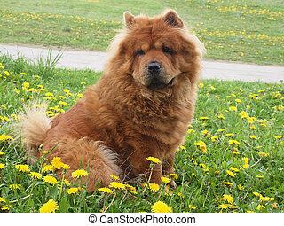 Perro de Chow Brown