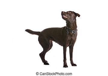Perro de labrador de chocolate