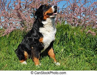 Perro de montaña Bernese