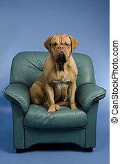 Perro en el sillón