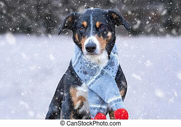 perro, feliz, azul, invierno, bufanda, día, nieve, appenzeller