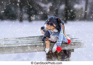 perro, feliz, banco, bufanda azul, sennenhund, nieve, appenzeller