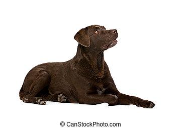 Perro labrador de chocolate