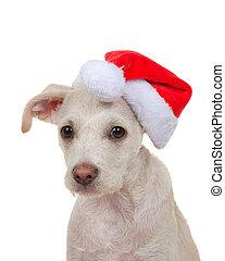 perro, llevando, perrito, sombrero, santa, aislado